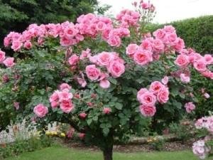 rosas000